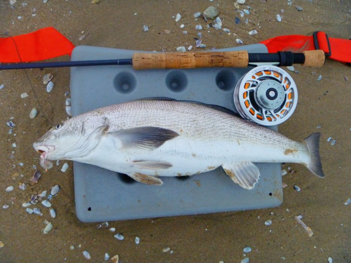 Corbina on fly flies sand surf for Whitakers fishing report