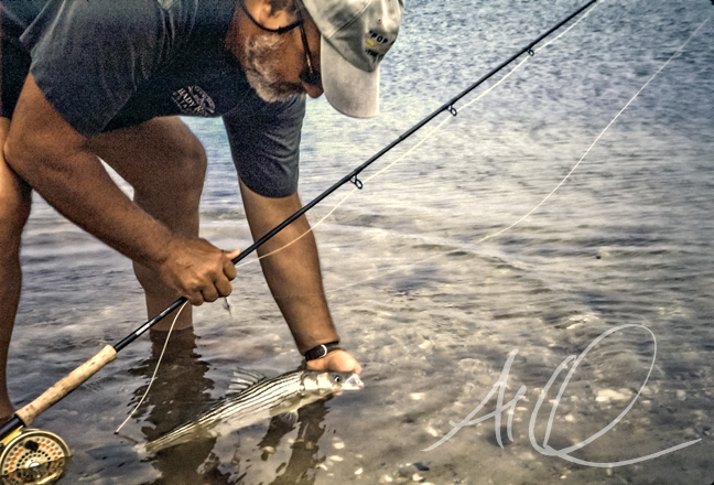 Bob Popovics releases a schoolie bass on the shores of Marthas Vineyard. photo by AL Q