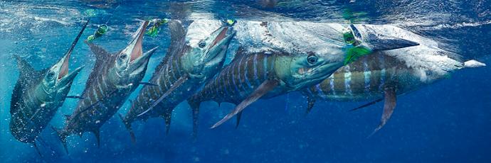sailfish dance. photos and copyright marc motocchio.