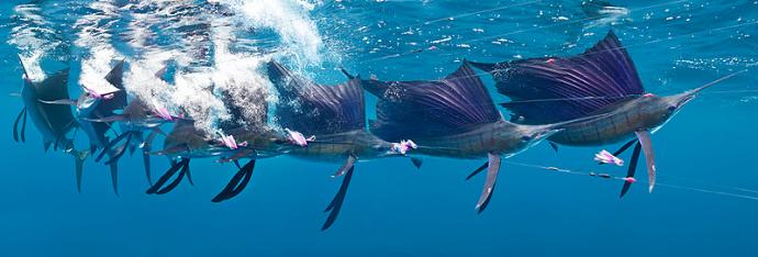 the sailfish dance. photos and copyright marc motocchio