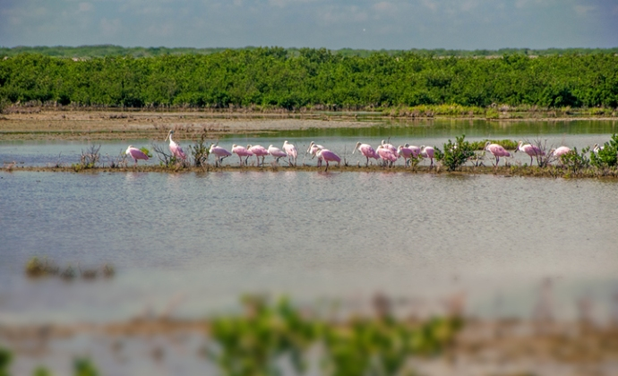 beautiful row of rosy spoonbills. photo by Al Q
