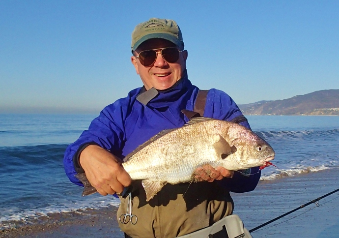 a beautiful spot fin croaker landed by angler Tom Camp somewhere in Santa Monica Bay on a Tom Brady fly.Photo courtesy of Tom Camp