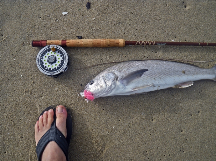 Fourth of July corbina sight-casted and landed on a classic old school set up. A Fenwick 8.6 ft, two piece 7 wt.fiberglass rod with an old 40s pfleuger click and pawl fly reel. I used a pink merkin, 12 foot leader with 8# tippet and the Rio Camolux intermediate fly line with 3% stretch. Photo by Al Quattrocchi