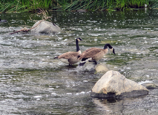 couple of canadian geese enjoying the early morning photo by Al Q