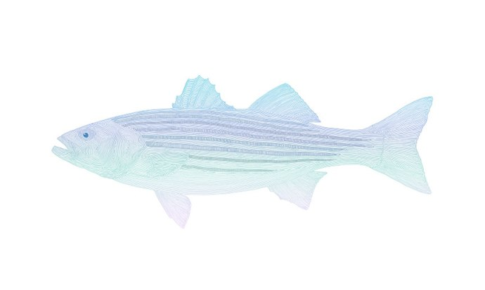 Striped-Bass_lines