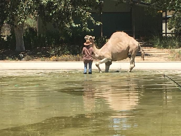 MA_camel