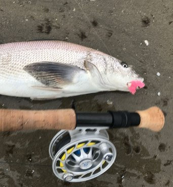 I field tested a new SLV Okuma fly rod the past week that a buddy got me ands far landed seven species on it. Check out the Fly Zone with me and Jim Solomon to learn more about sight casting for corbina.